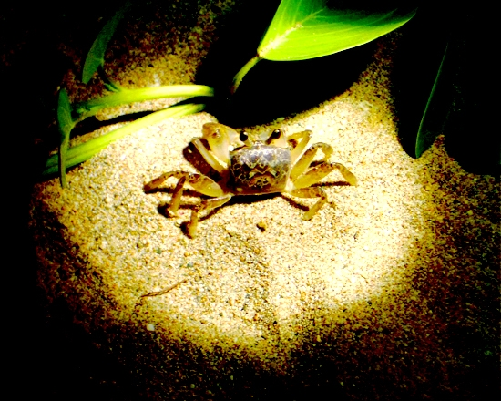 Visit Sand Crabs at Night